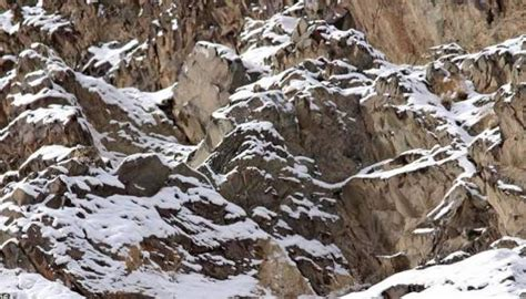 can you find the snow leopard these 15 camouflaged