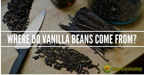 where do vanilla beans come from