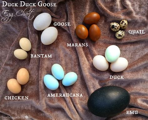Guide To Raising Backyard Chickens Duck Duck Goose Chicken Quail Emu Egg Identification