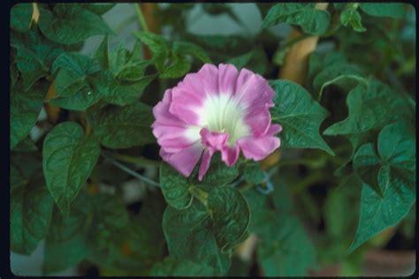 Morning Pharbitis Nil T1310 morning glories database mutant strains