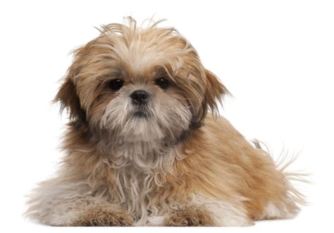 rescue dogs shih tzu shih tzu rescue for companionship shih tzu puppies shitzu puppies