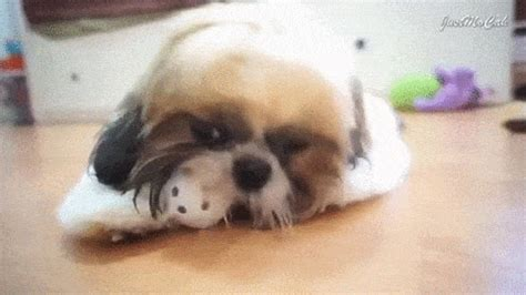 shih tzu gif shih tzu gif find on giphy