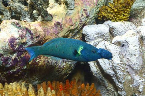 bird wrasse aquatic veterinary services of northern national aquarium 404