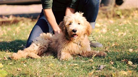 trained doodle puppies for sale ani canine peace of mind