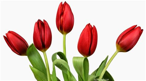 wallpaper bunga tulip hd 10 wallpaper bunga tulip merah deloiz wallpaper