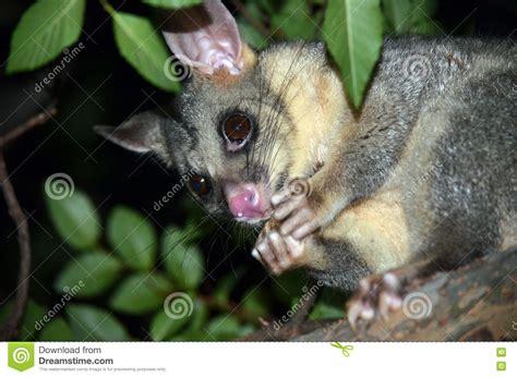 possum in backyard possum in backyard home decorating ideas gogo papa