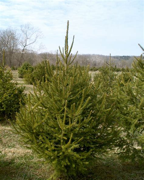 ge norway spruce 6 ft 6 spruce