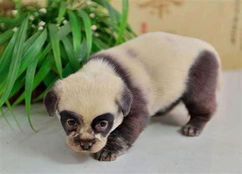 panda puppies these adorable puppies look just like miniature panda cubs bored panda