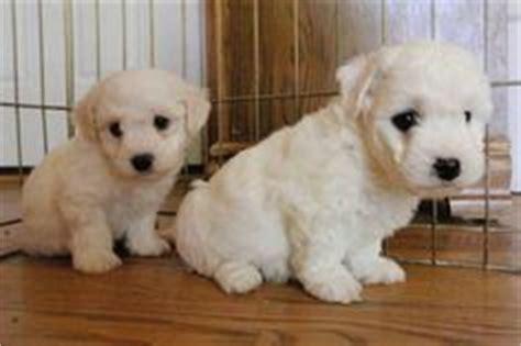 shih tzu vs coton de tulear 1000 images about machi dogs maltese small breeds on shichon puppies