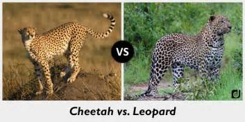 Leopard Vs Cheetah Vs Jaguar Picture Suggestion For Cheetah Vs Leopard Vs Jaguar