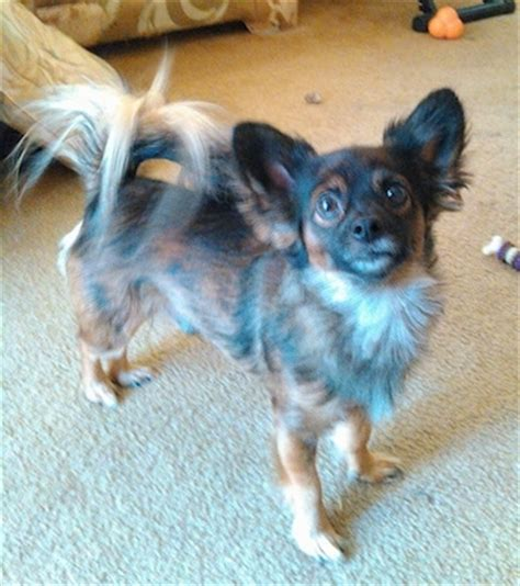 chihuahua pomeranian mix temperament pomchi breed pictures 2