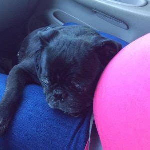 pug puppies knoxville tn black pug for adoption in knoxville tennessee tn adopt dooley today