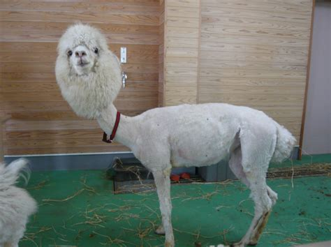 super punch shaved alpaca