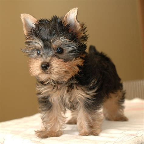 yorkie breeders item two adorable and yorkie puppies