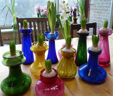 Forcing Hyacinth Bulbs In Vases How To Force Hyacinth Bulbs For Christmas Hyacinth Vases