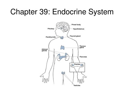 diagram of endocrine system endocrine system diagram unlabeled anatomy organ