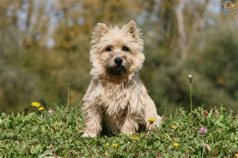 do cairn terriers get their hair cut or shaved cairn terrier or westie what s the difference between the