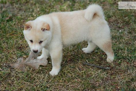 shiba inu puppies for sale near me shiba inu puppy for sale near joplin missouri 7a55d844 13a1