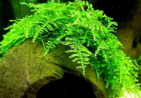 aquascape tanpa co2 jenis tanaman aquascape yang tidak memerlukan co2
