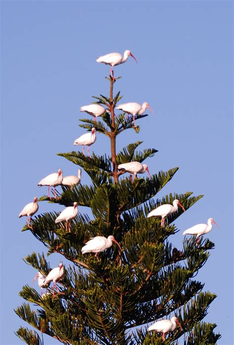 florida christmas tree image and likeness