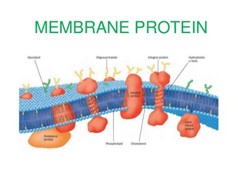 5 proteins in plasma membrane membrane proteins