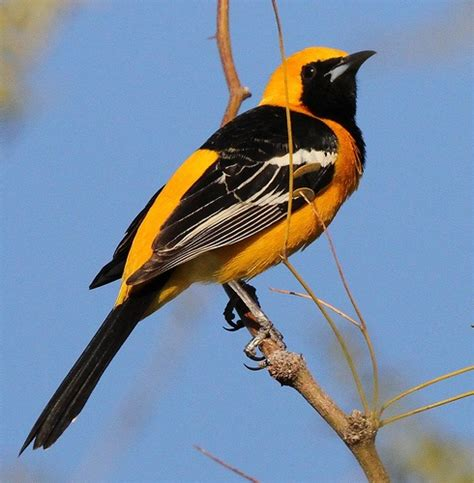 hooded oriole nature animals pinterest