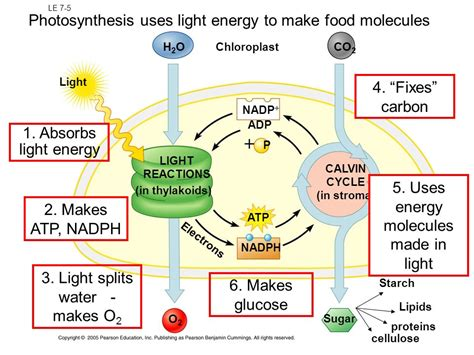 cp ch 8 photosynthesis uses energy from sunlight ppt