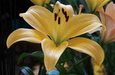 fotos de la flor lilis significado de las flores toda la informaci 243 n de flores