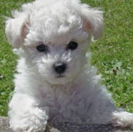non shedding dogs medium sized breeds picture