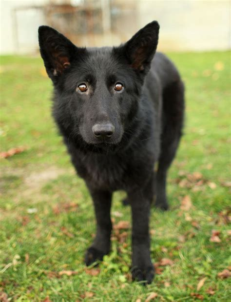 black german shepherd 117 best images about black german shepherds on pinterest