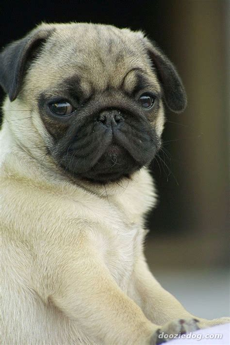 a pug as a pet pug puppy jpg