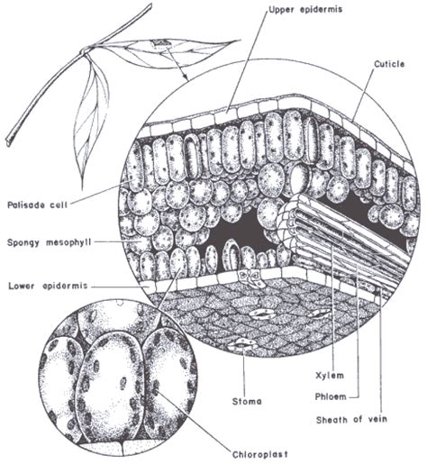 cross section of a leaf parts and functions functions of plant parts qld science teachers