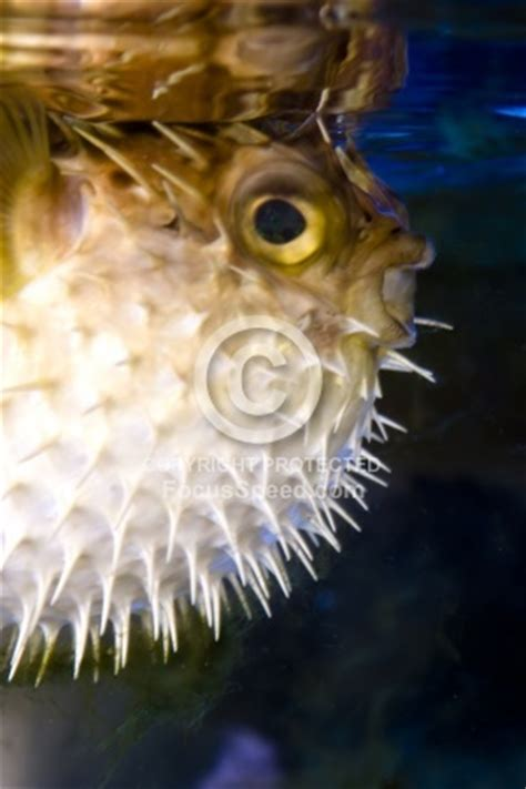 Origami Puffer Fish - 78 best images about puffer fish on zoos