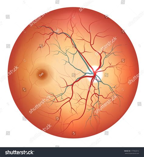 optic disc stock photos and human eye anatomy retina optic disc stock illustration