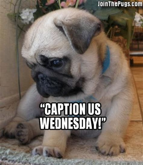 Pug Puppy Caption Us Pictures With Captions Litle Pups
