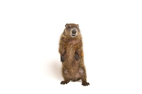 groundhog day how what are groundhogs really looking for for one