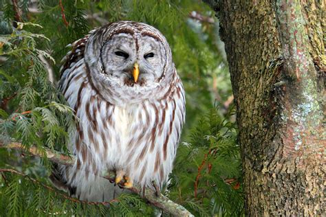 learn to identify five owls by their calls audubon