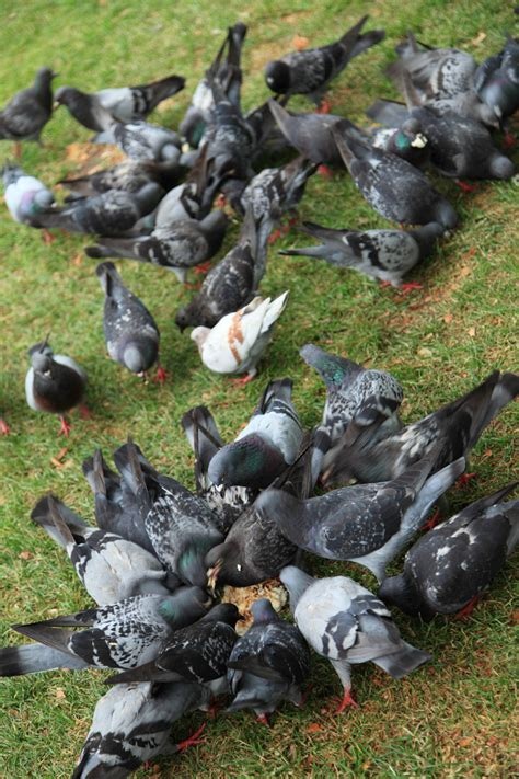 pigeons feeding free stock photo public domain pictures