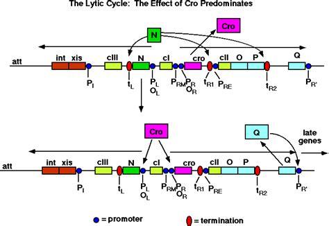 q protein bacteriophage lambda ho dei dubbi riguardo l antiterminazione durante il