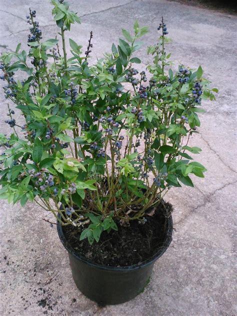 recommended lowbush blueberry varieties lowbush blueberries