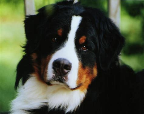 bernese mt bernese mountain breed puppies breeds picture