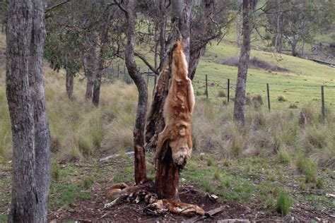 Doggie From Tree by Dead Dogs Hang From A Tree Abc News Australian