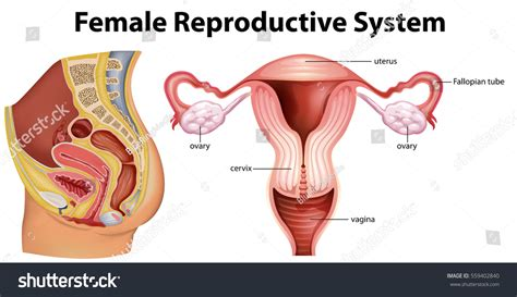 diagram of the reproductive system structure of the reproductive organ anatomy