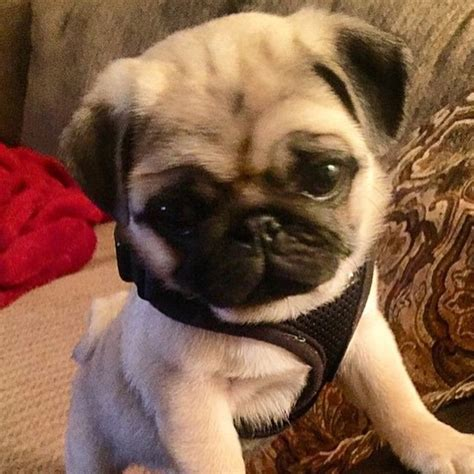 pug age expectancy baby puppies puppy on instagram