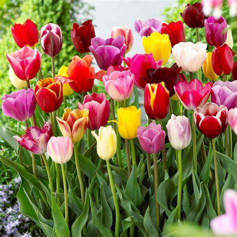 Jual Bibit Bunga Tulip jual benih bibit biji bunga tulip warna warna mixed di