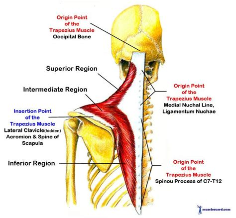 muscle origins and insertions trapezius muscle origin insertion and action trapezius