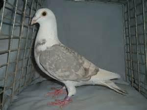 homing pigeons kc kennels home