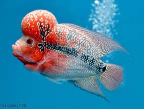 Beautiful Flowerhorn Fish For Sale In Hyderahad   HD Walls   Find