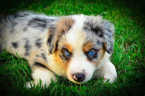 australian shepherd puppies for sale pa australian shepherd puppies for sale philadelphia pa 246985
