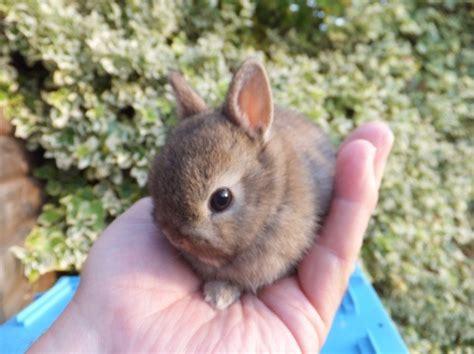 genuine netherland dwarf baby rabbits  sale chorley